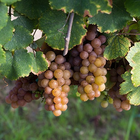 Chardonnay Ready for Harvest